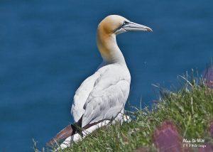 Gannet resting on cliff top