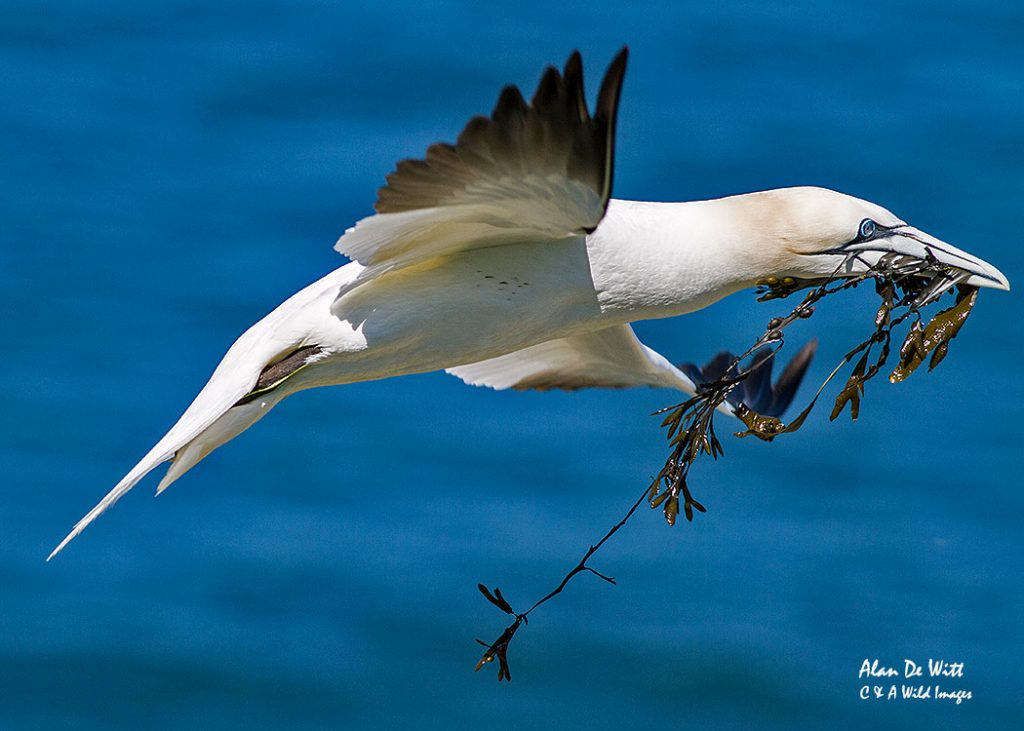 Gannet nest building at RSPB Bempton Cliffs