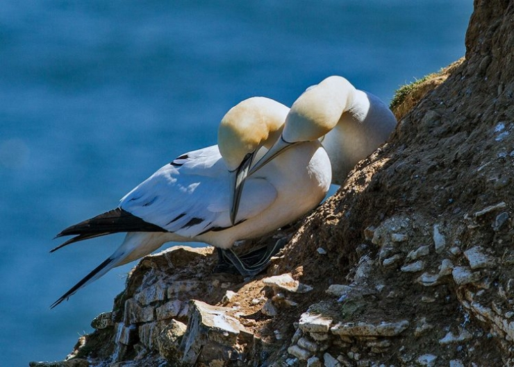 Gannets Greeting