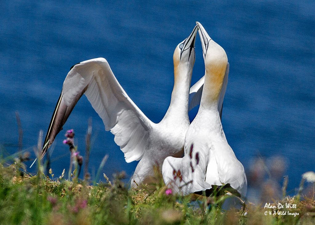 Mating behaviour of Gannets