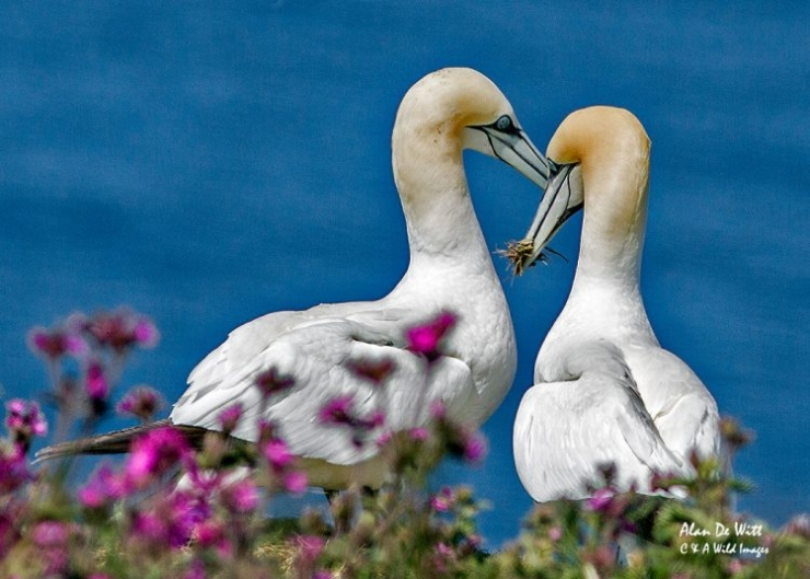 Gannets nest building
