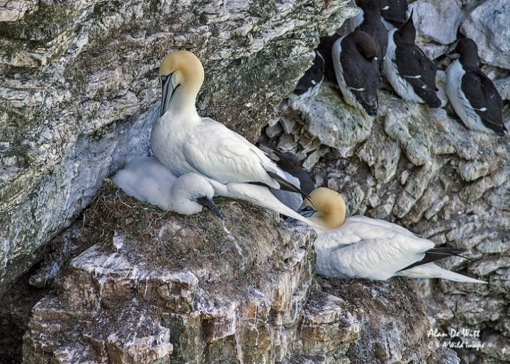 Gannets on nest