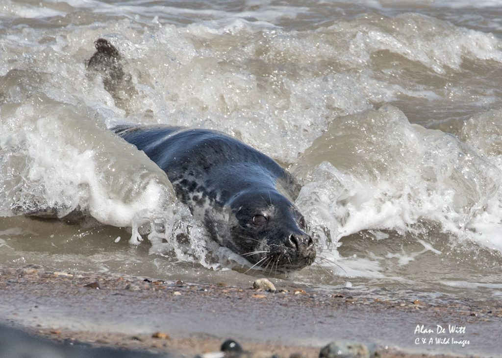 Grey seal surfing
