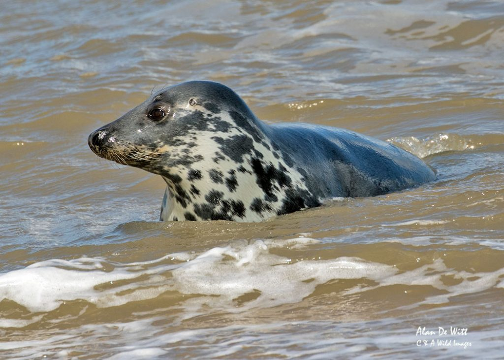 Young Grey Seal swimming in the surf