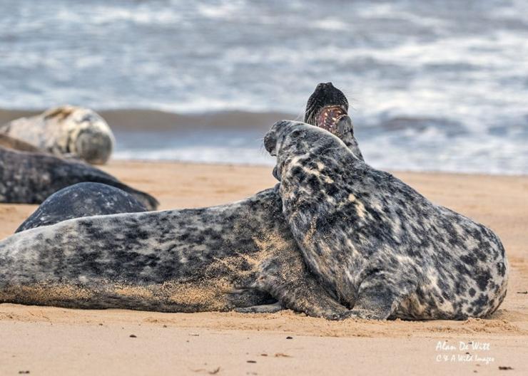 Grey Seals Sparring