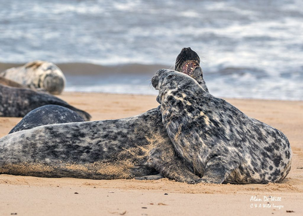 Male Grey Seals Sparring