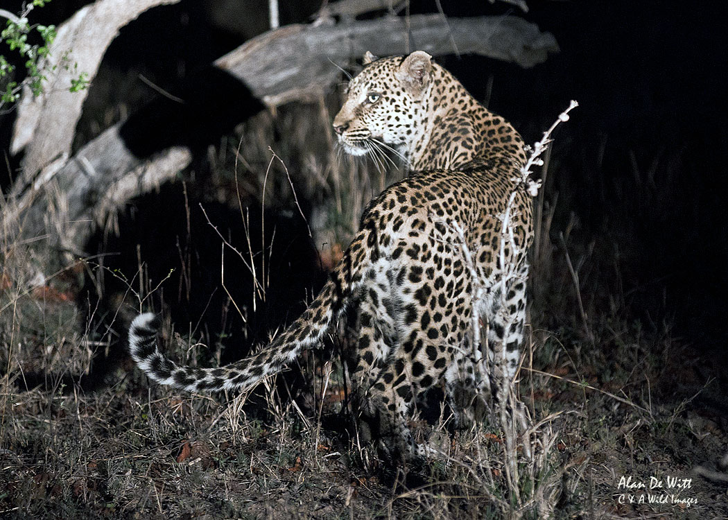 Leopard-Hunting-at-night