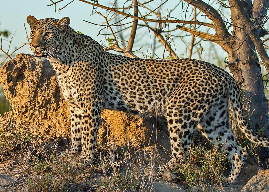 Leopard at Sunset
