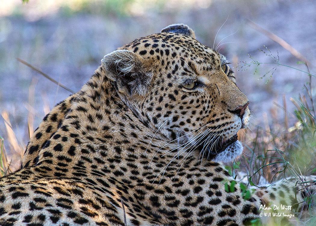 Leopard-in-Kruger-NP