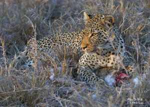 Motswari-Leopard-with-kill