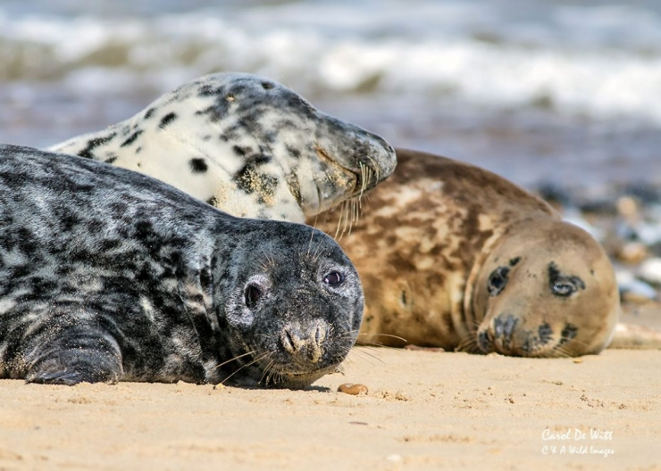 Moulting Grey Seals