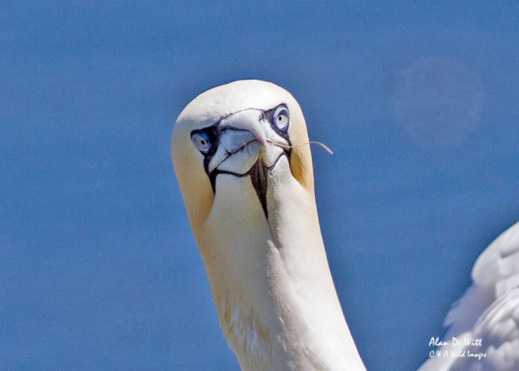 Norther Gannet Portrait