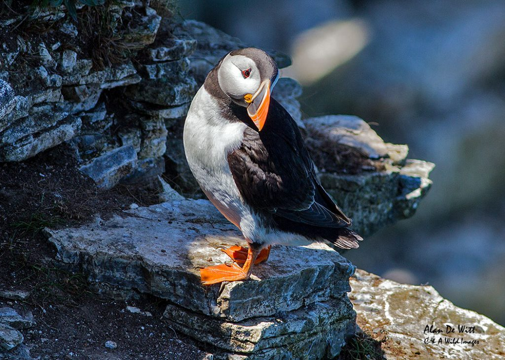 Puffins at RSPB Bempton Cliffs