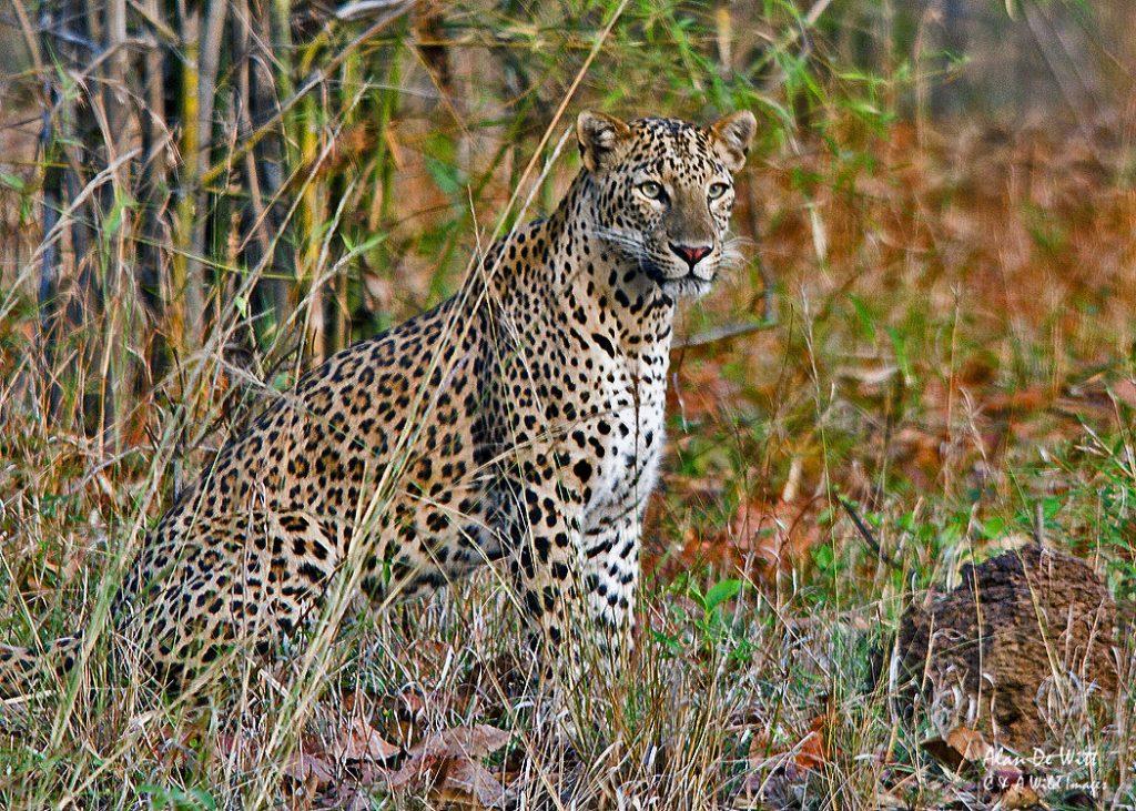 Tadoba Leopard