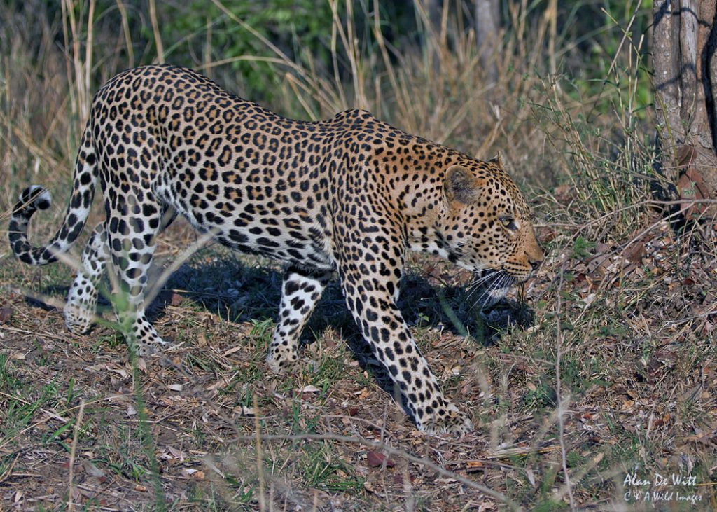 Leopard Hunting in Thornybush