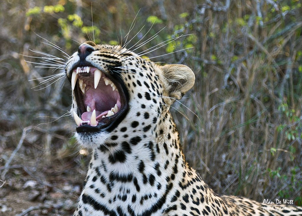 Leopard snarling in Thornybush