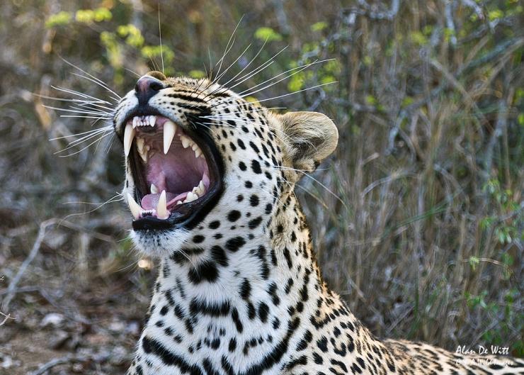 Leopard snarling at Timbavati