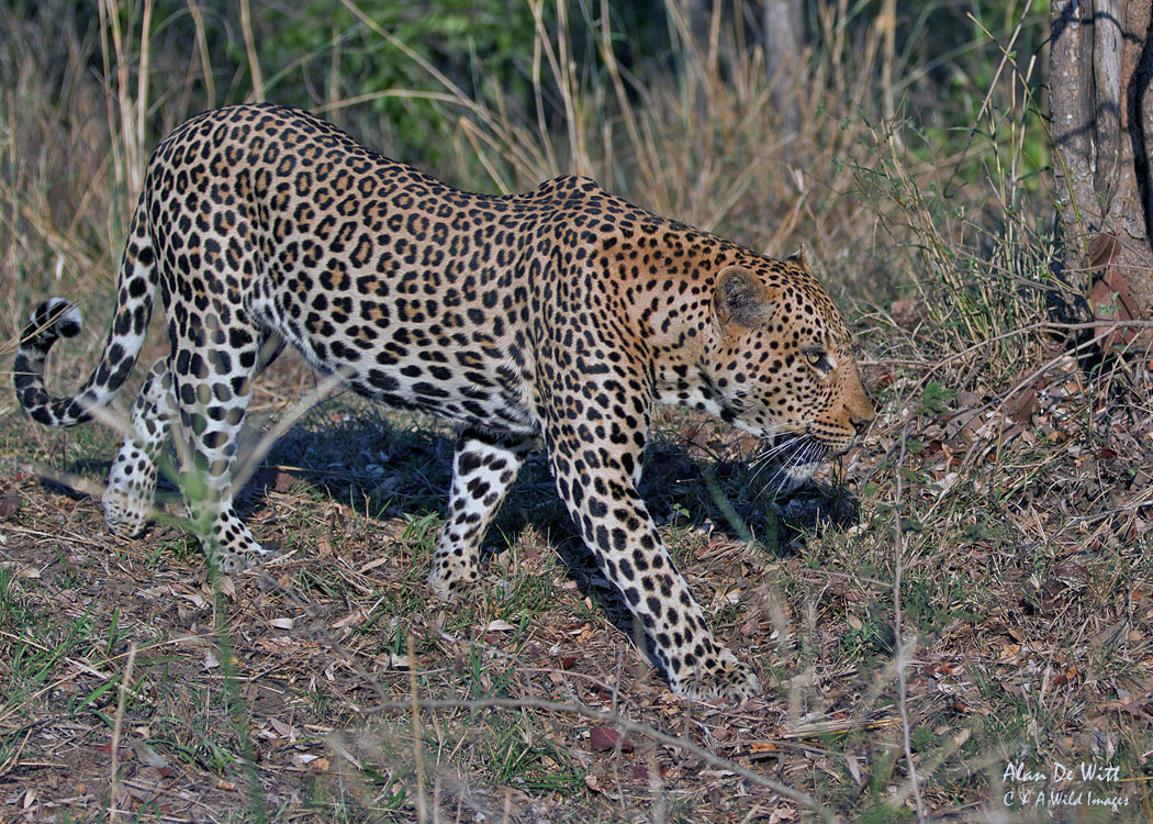 Timbavati-Leopard