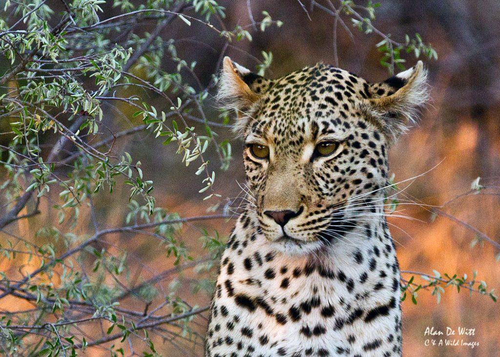 Leopard portrait in Motswari