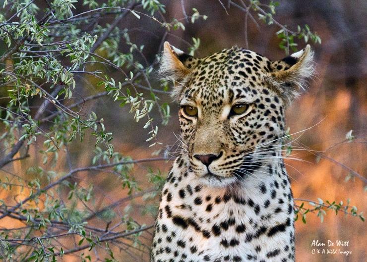 Young Motswari Leopard