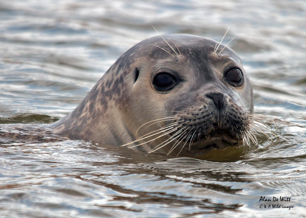 Common Seal sighting in 2008 at Titchwell