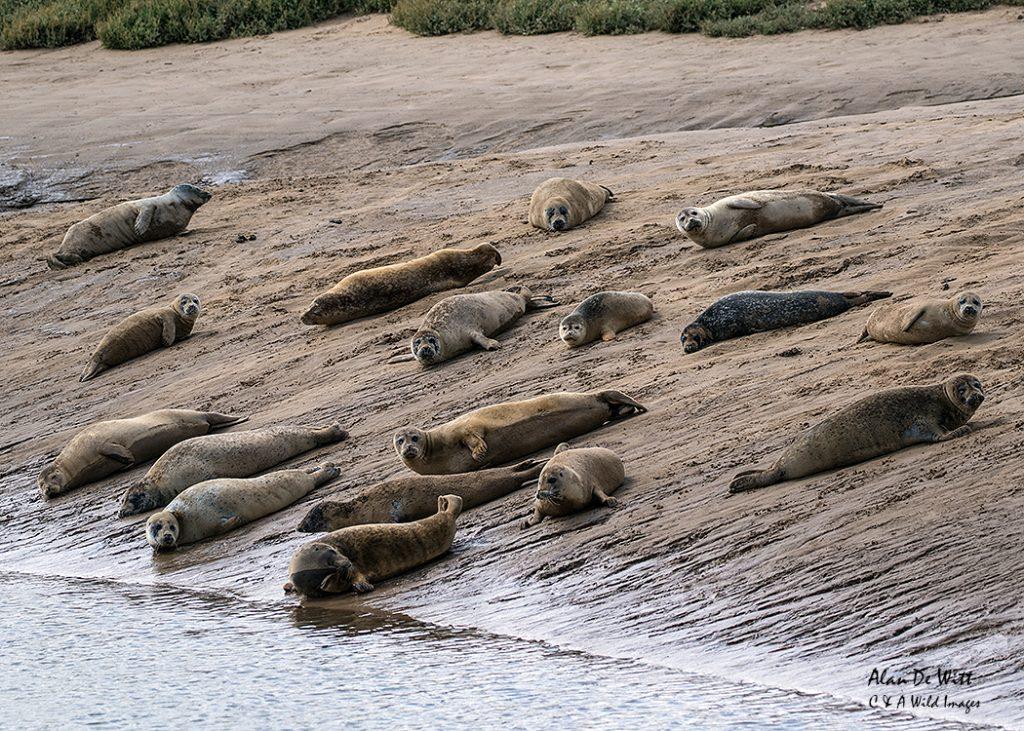 Common Seals Basking
