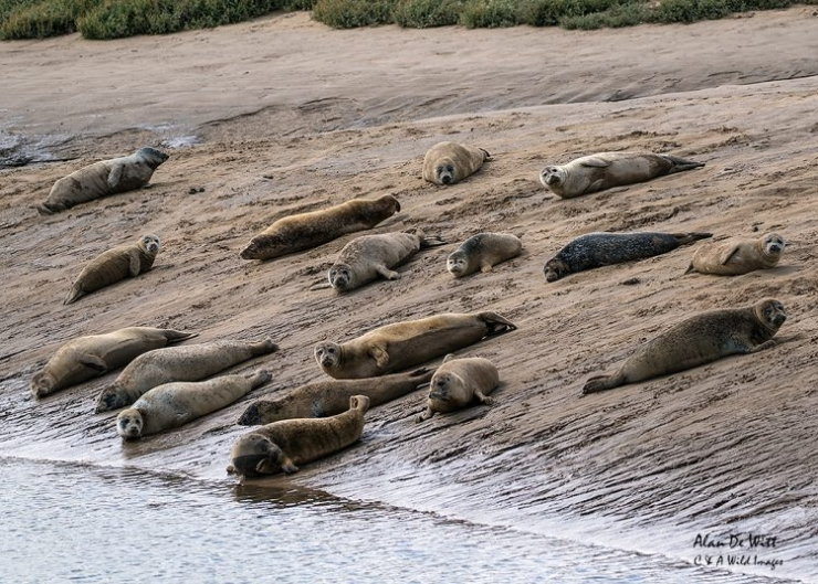 Common Seal Colony