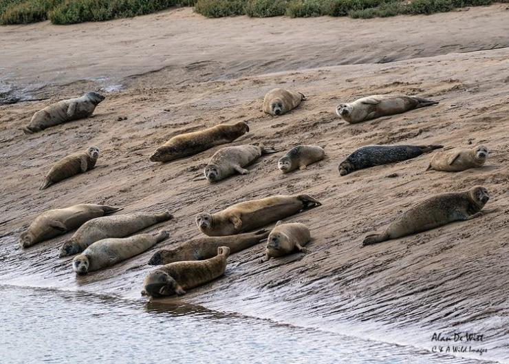 Common Seal Colony