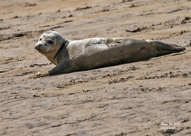 Common Seal Pup