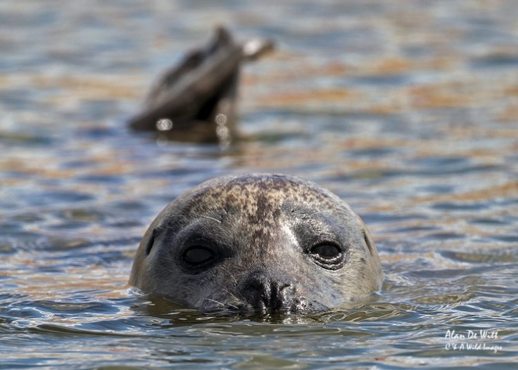 Common Seal at rest
