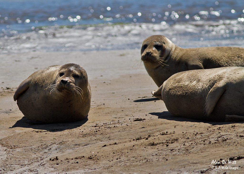 Common seals on Brancaster beach