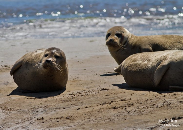Common seals at Brancaster