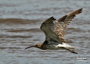 Curlew-in-Flight