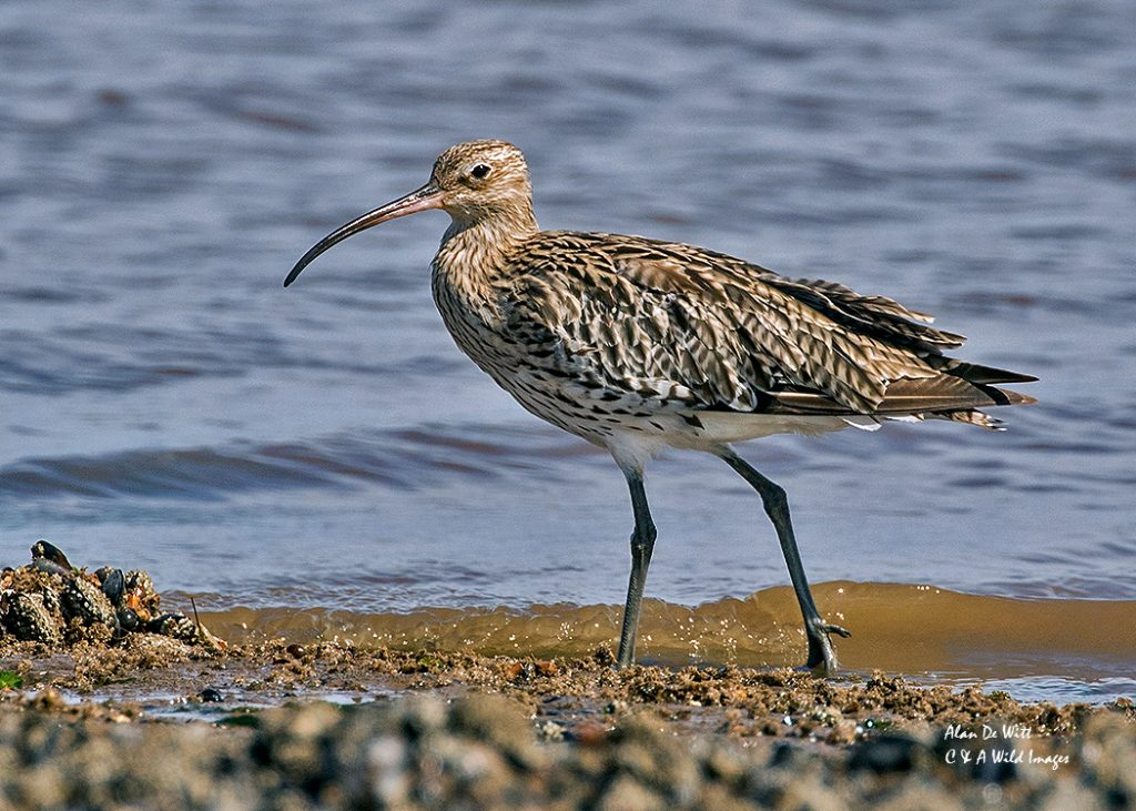 Curlew on the low tide line
