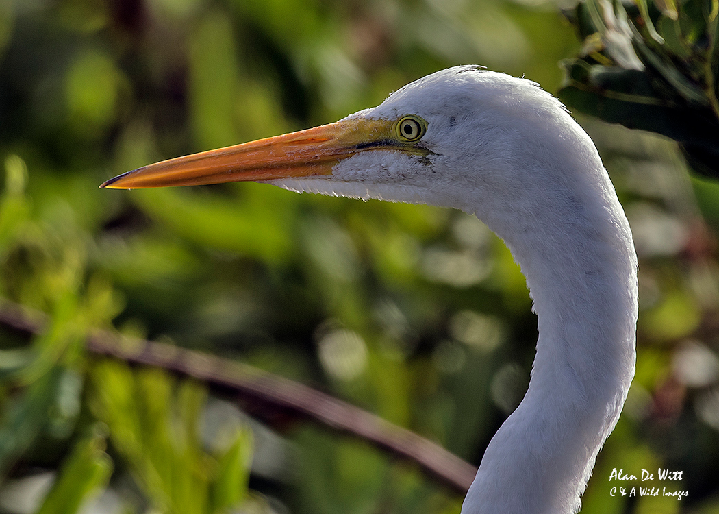 Great Egret at Green Cay