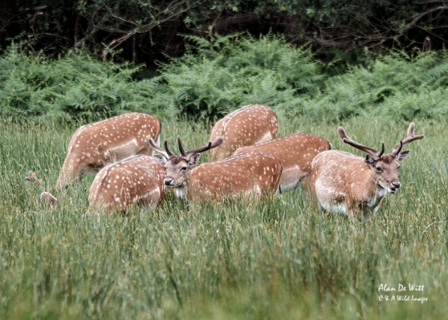 Fallow Bucks in the New Forest