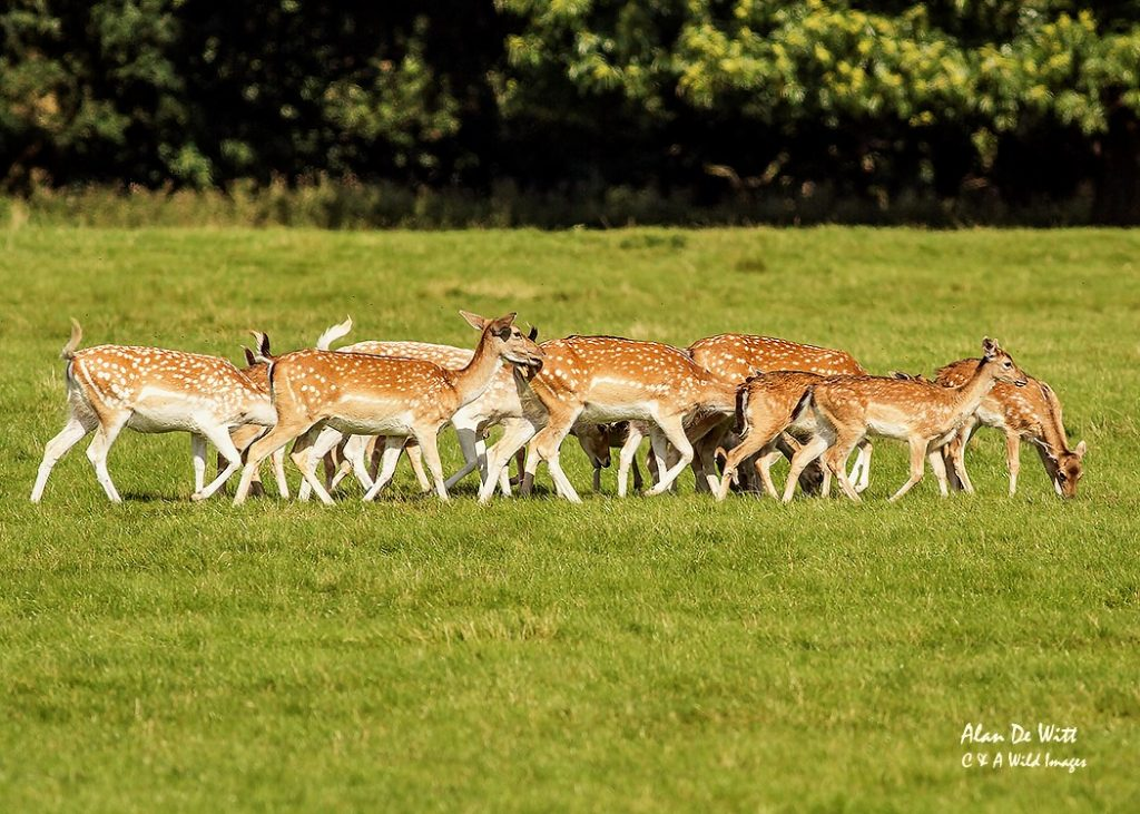 Fallow Deer Fawns & Does at Holkham Hall