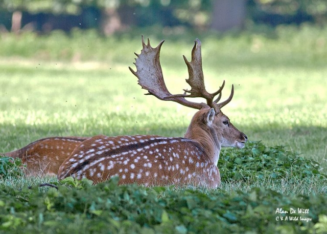 Fallow deer stag at holkham