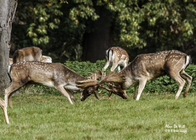 Fallow deer stags sparring at holkham