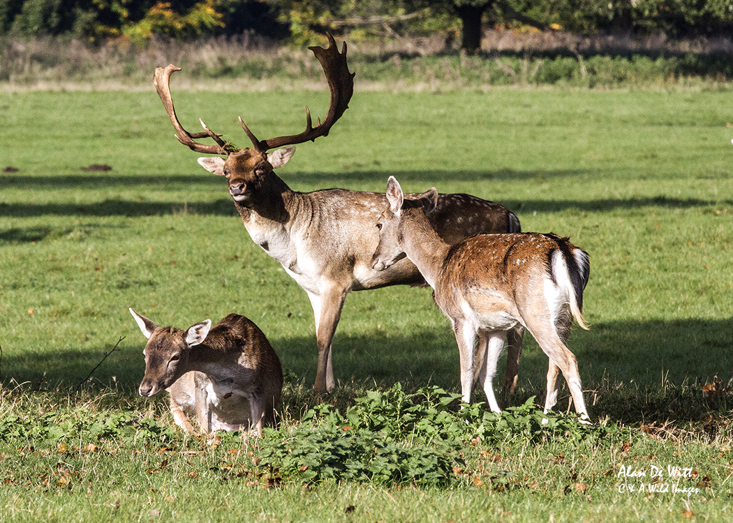 Fallow stag and does at holkham