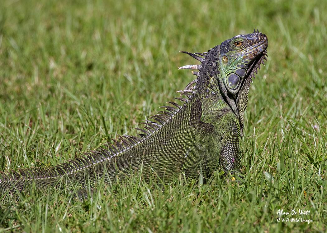 Green Iguana in Florida