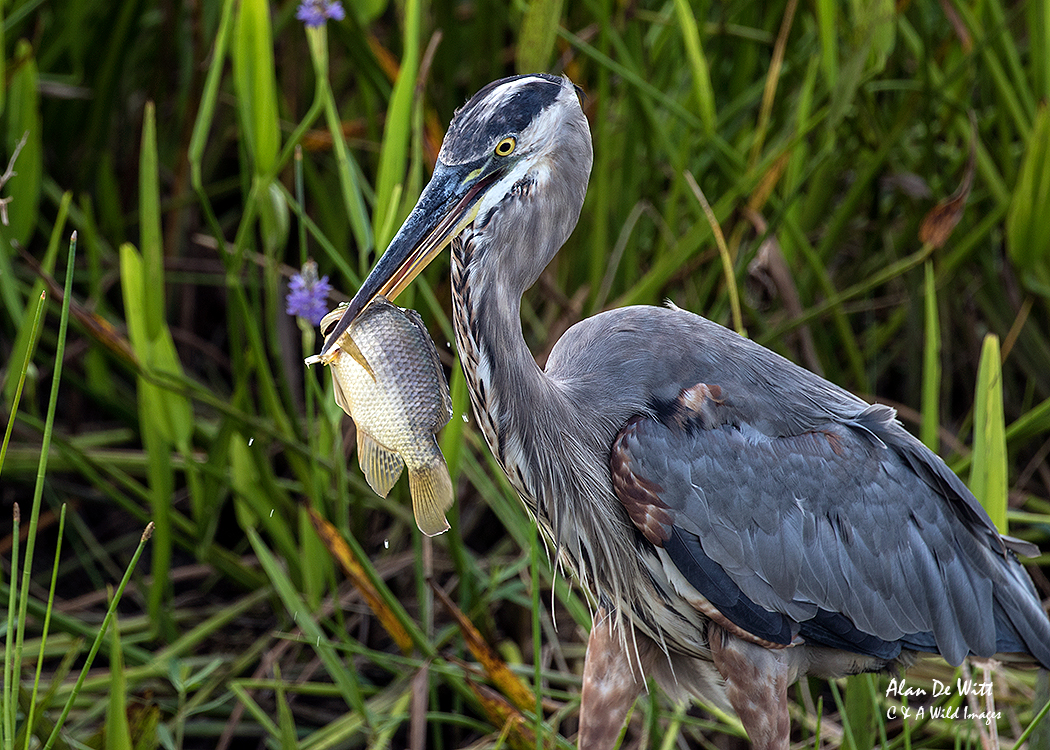 Heron with fish at Wakodahatchee Wetlands