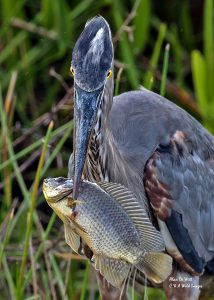 Great Grey Heron with fish