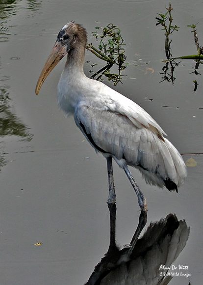 Juvenile Wood Stork at Busch Wildlife Sanctuary, Jupiter