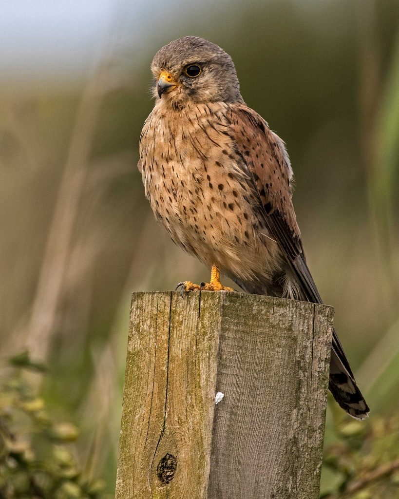 Male Kestrel at Titchwell