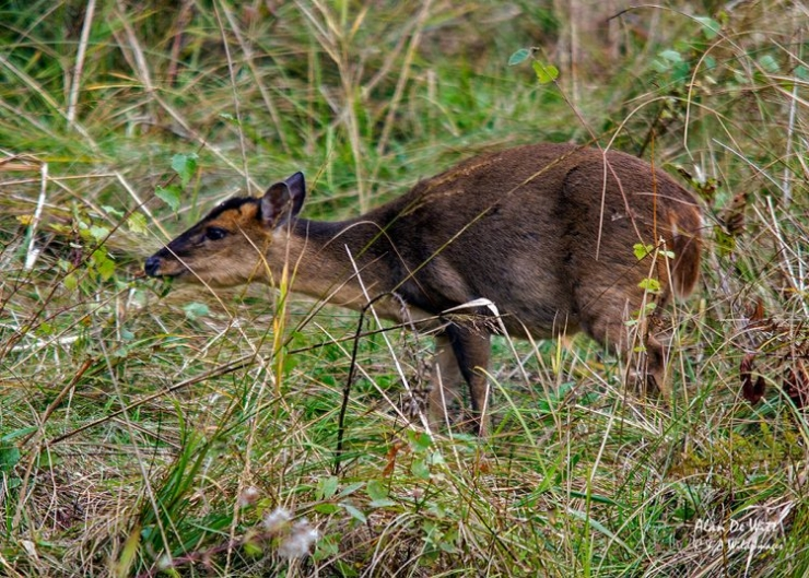Muntjac at sculthorpe moor nature reserve