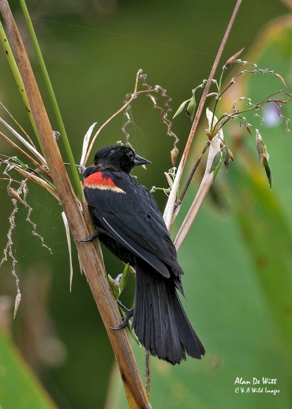 Red-winged-black-bird at Busch Wildlife Sanctuary, Jupiter