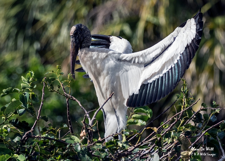 Wood Stork at Wakodahatchee Wetlands