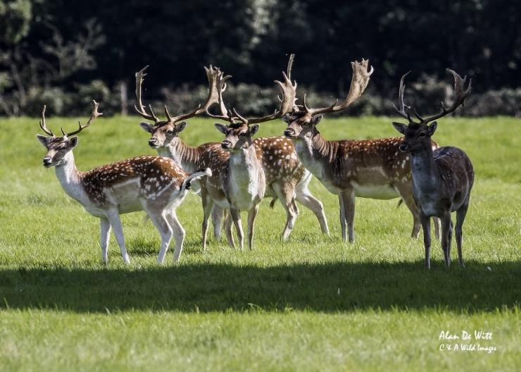 Fallow deer bucks at holkham