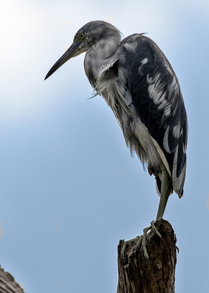 Juvenile Little Blue Heron at Green Cay
